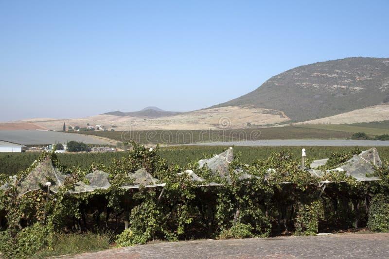 Лозы растя под полиэтиленовой пленкой в зоне Swartland Южной Африки стоковые изображения