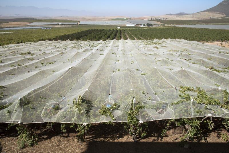 Лозы растя под полиэтиленовой пленкой в зоне Swartland Южной Африки стоковая фотография