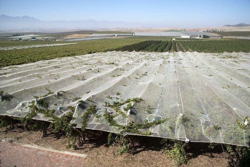 Лозы растя под полиэтиленовой пленкой в зоне Swartland Южной Африки стоковое фото
