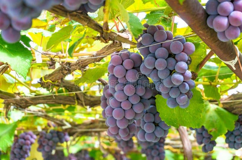 Лозы с зрелой виноградиной против ярких ых-зелен листьев на солнечный день стоковые изображения rf