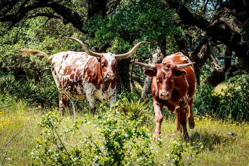 Лонгхорны Техаса в стране холма стоковые изображения