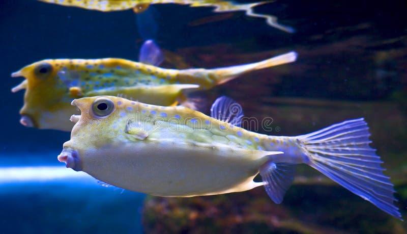 лонгхорн 2 cowfish стоковые фотографии rf