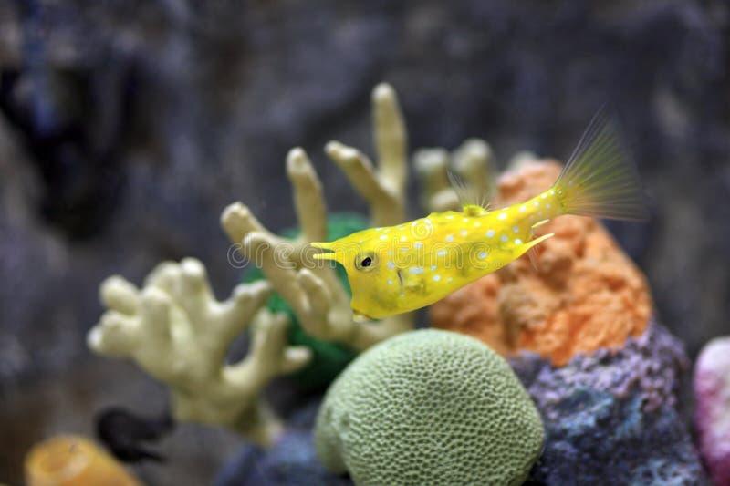 лонгхорн cowfish стоковая фотография