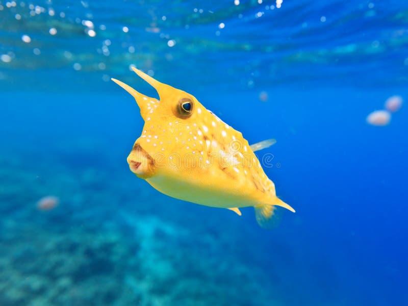 лонгхорн cowfish стоковые изображения