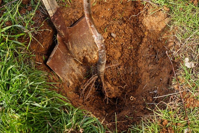 Лопаткоулавливатель и корни дерева готовые для засаживать в отверстие стоковая фотография