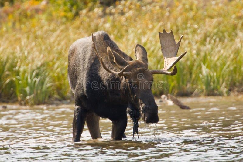 лоси быка стоковое фото rf