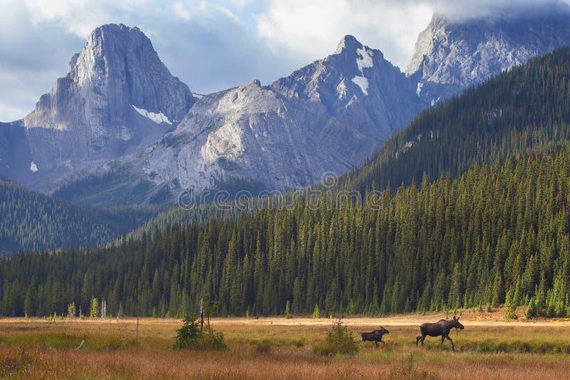 Лоси в канадских скалистых горах стоковое фото rf