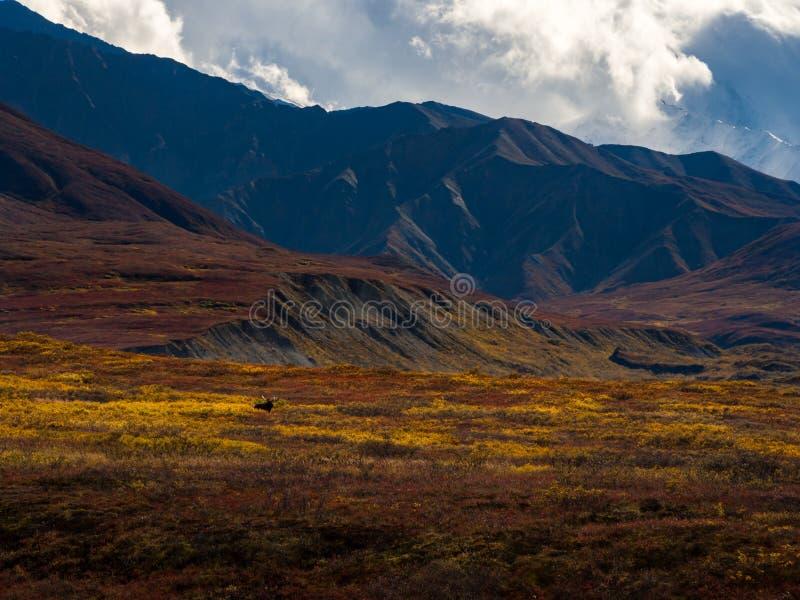Лоси в тундре осени, ландшафт горы, национальный парк Denali стоковые изображения