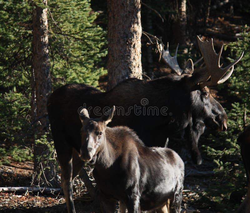 Лоси и икра Bull стоковая фотография rf