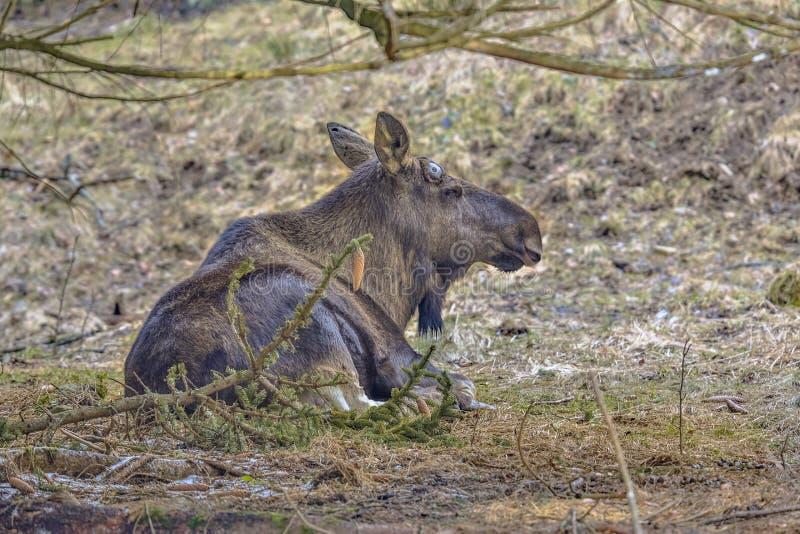 Лоси или лось отдыхая под деревом стоковые фото