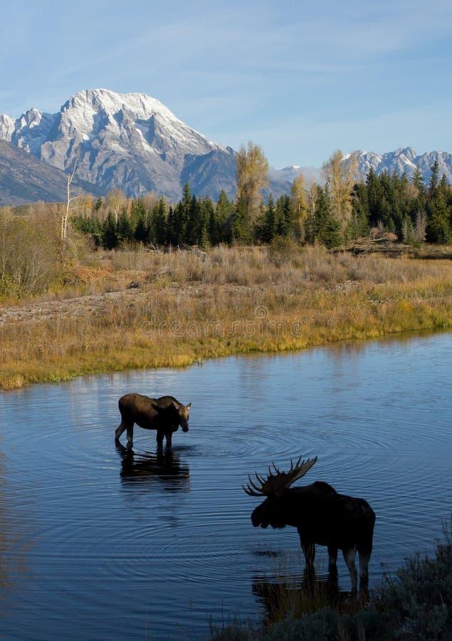 Лоси коровы Bull ухаживая в воде под горой стоковые изображения