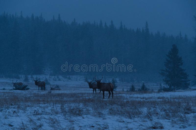 Лоси на утре зимы, ландшафт национального парка Banff стоковое изображение rf