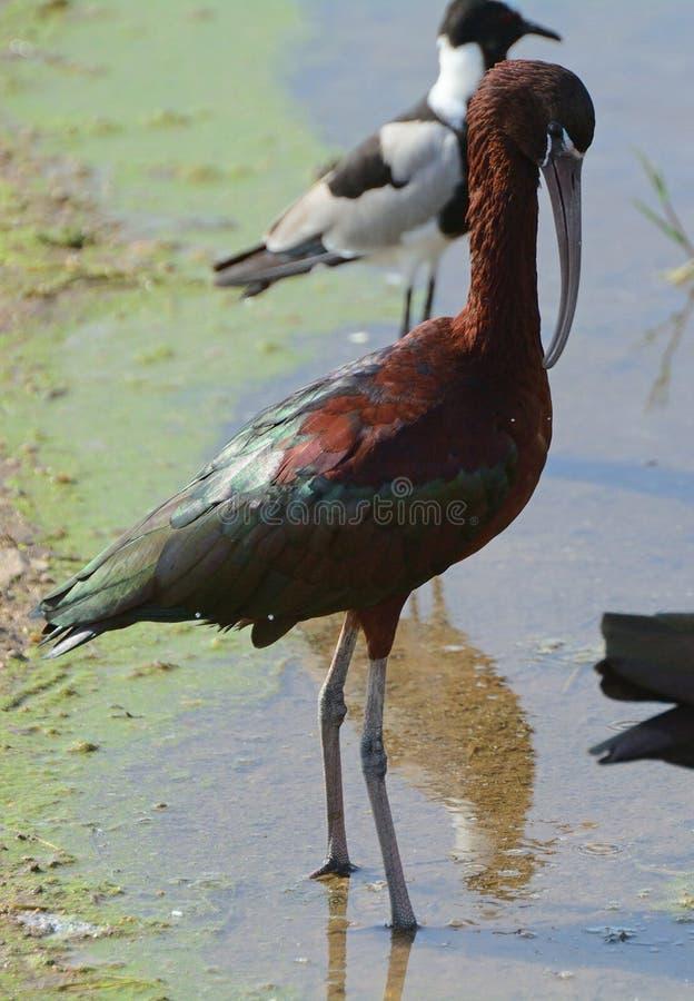 Лоснистая ржанка ibis и кузнеца, национальный парк Amboseli, Кения стоковое фото rf