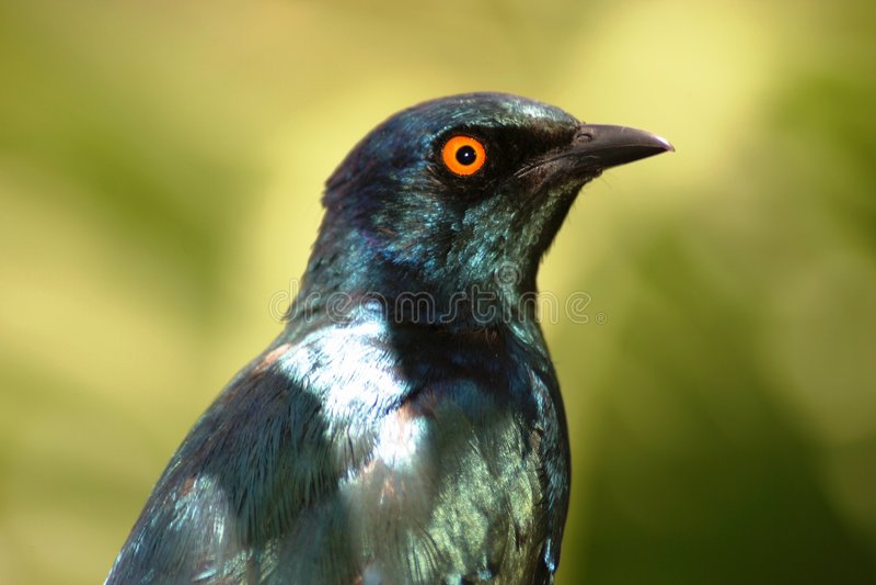 лоснистый starling стоковое изображение rf