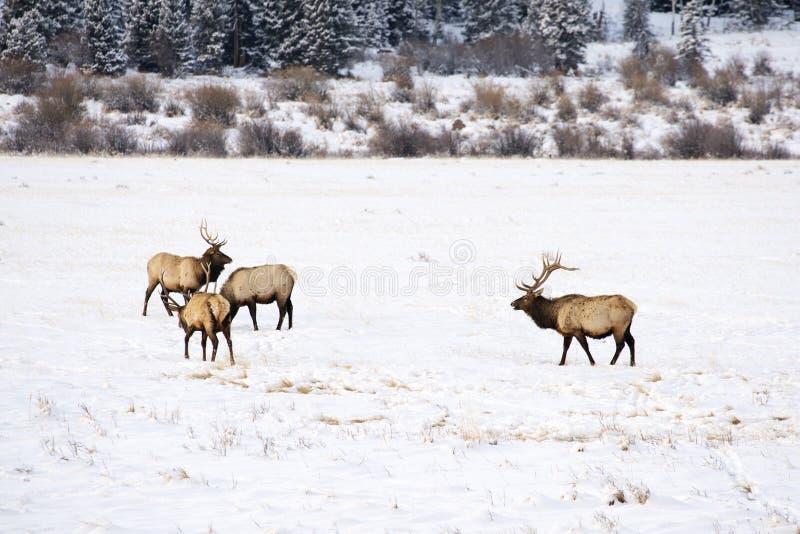 Лось в зиме стоковое изображение rf