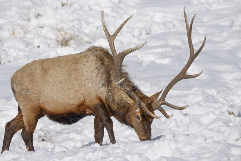 Лось в снеге стоковое изображение rf