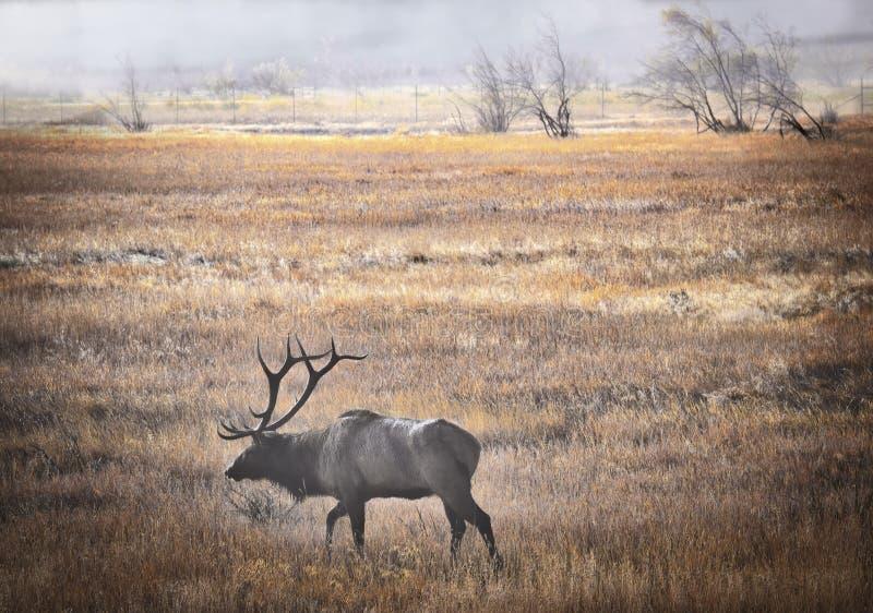 Лось в тумане, национальном парке скалистой горы, Колорадо стоковое изображение rf