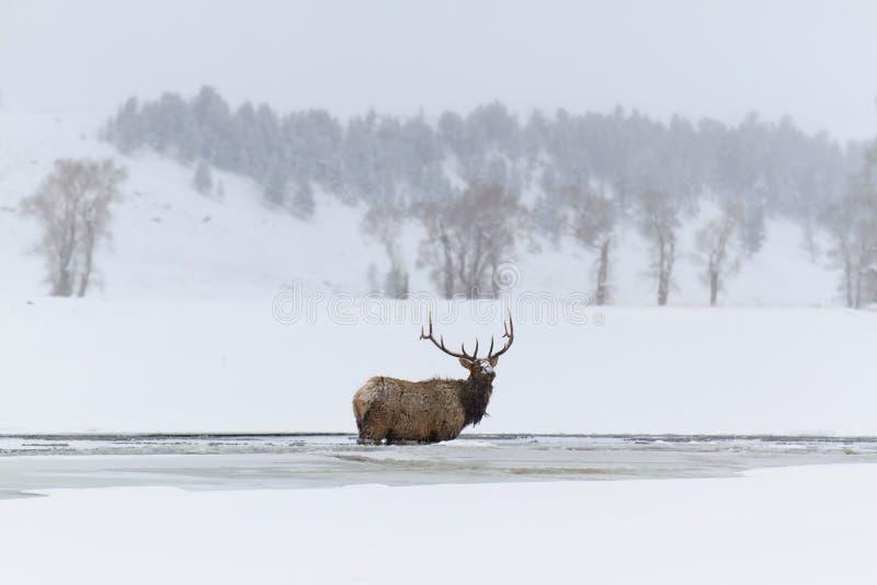 Лось зимы стоковое изображение rf