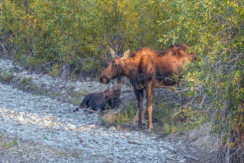 Лось коровы с икрой в большом национальном парке Teton Вайоминг США стоковая фотография rf