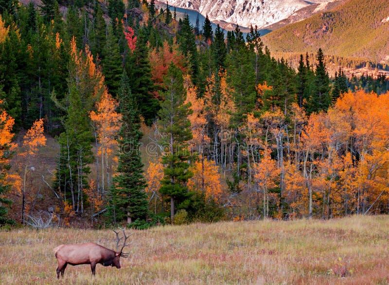 Лось; Национальный парк скалистой горы, CO стоковое изображение rf