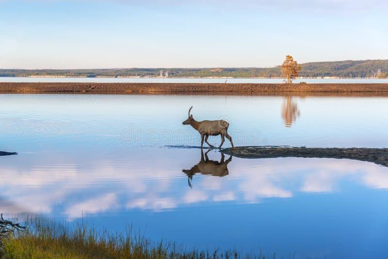 Лось отраженный в озере стоковое фото rf