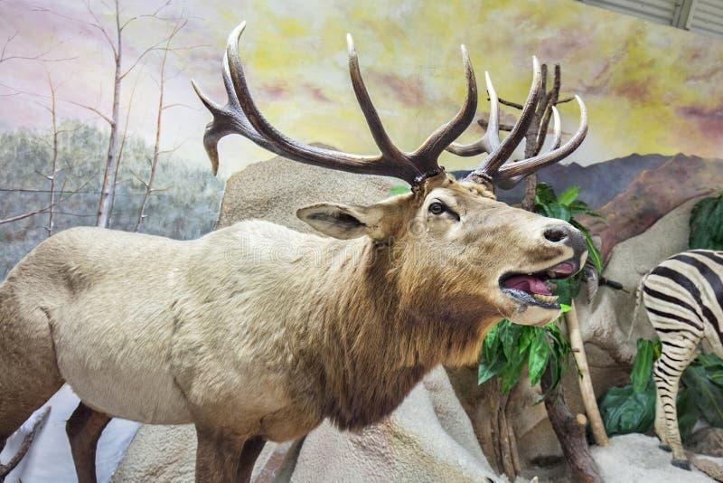 Лось, таксидермия северного оленя стоковые изображения