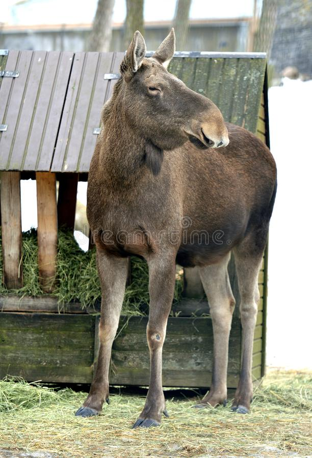 Лось, alces Alces, самый большой extant вид в семье оленей пасмурная весна дня стоковые изображения rf