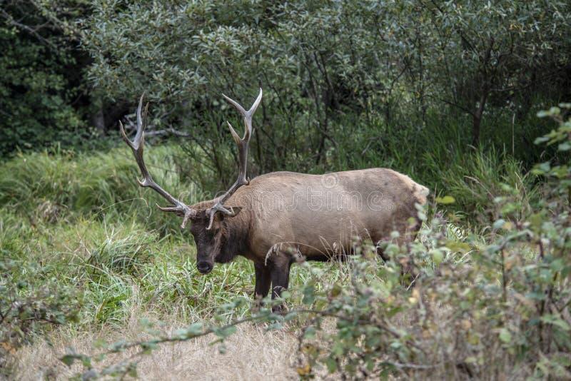 Лось Bull вызывая для ответной части стоковые фотографии rf