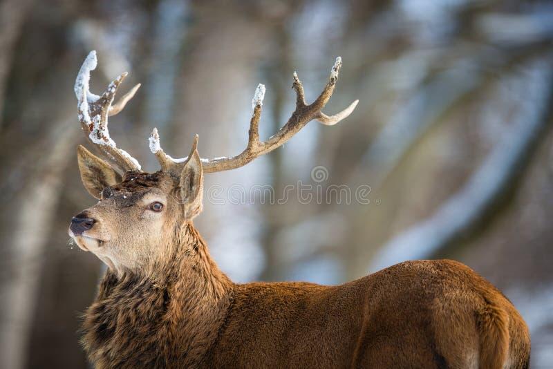 Лось Bull в лесе стоковые изображения rf