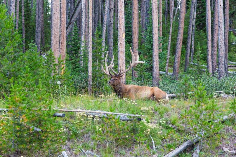 Лось Bull в покое в лесе стоковое фото rf