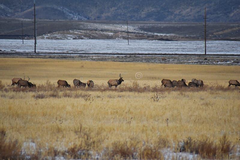 Лось Bull его гарем табуна на шоссе Baccus Westside с взглядом долины озера сол и гор фронта Уосат скалистых в стоковое фото