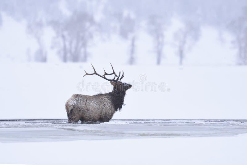 Лось Bull зимы стоковое изображение