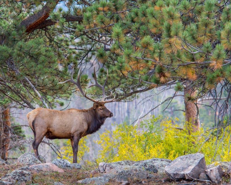 Лось Bull, цвета осени, национальный парк скалистой горы, CO стоковое фото rf