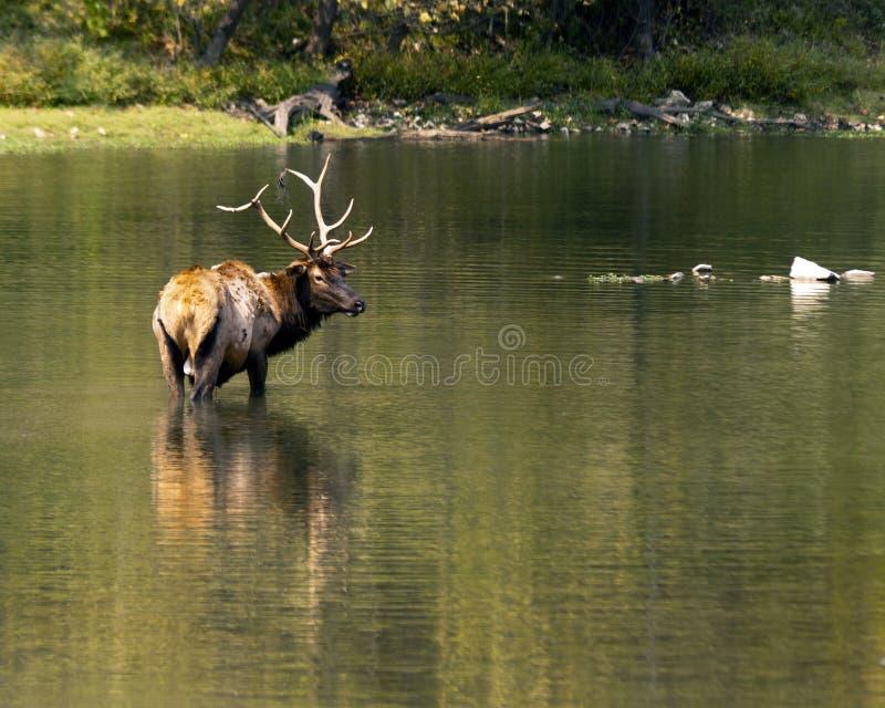 лось wading стоковое изображение rf