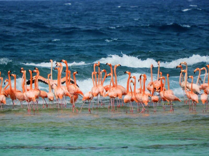 Лос Roques, карибский пляж: Фламинго на пляже стоковая фотография rf