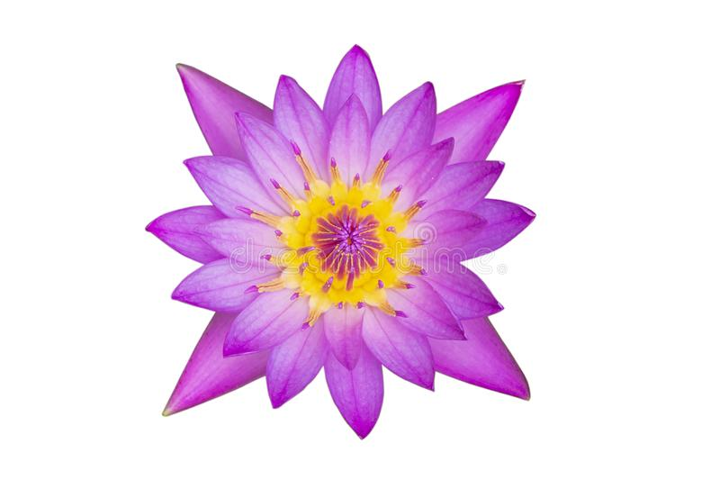 лотос взгляда сверху пурпурный изолированный на белой предпосылке с путем клиппирования стоковое фото rf