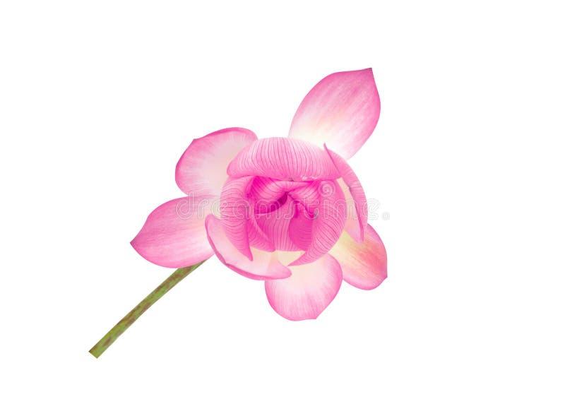 Лотос взгляд сверху красивый розовый изолированный на белой предпосылке стоковые фото