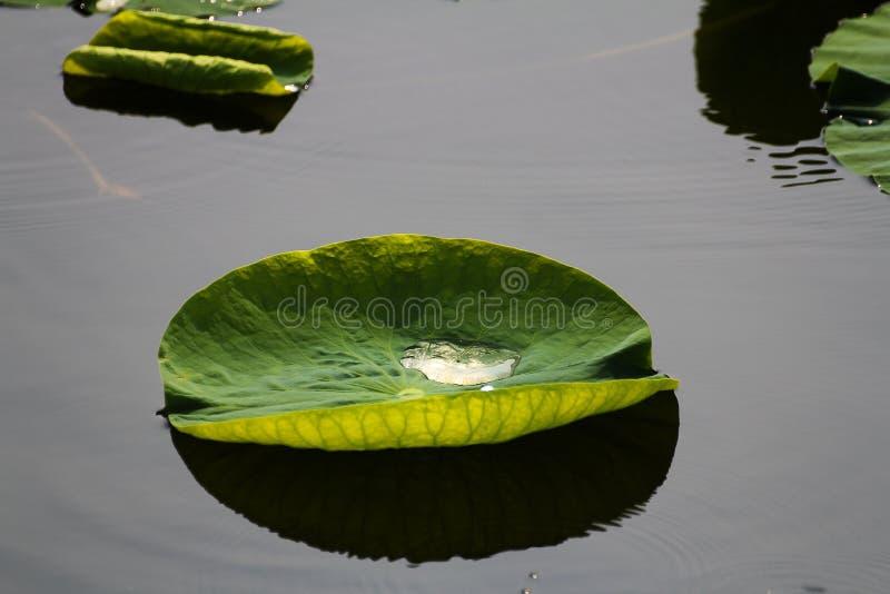 Лотос в Японии, часть цветка стоковое фото rf