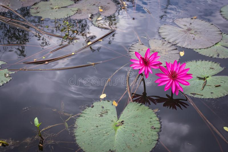 Лотос и лист цветка лилии воды стоковое изображение