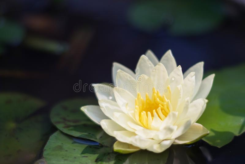 лотос красоты белый в пруде с зелеными лист стоковая фотография