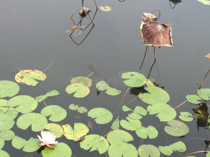 Лотос озера стоковые изображения rf