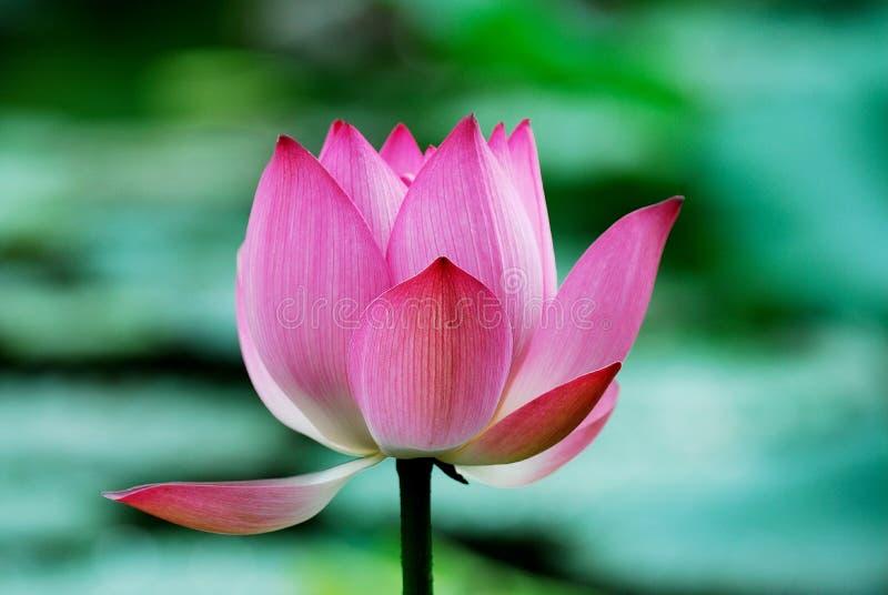 лотос цветка стоковое изображение rf