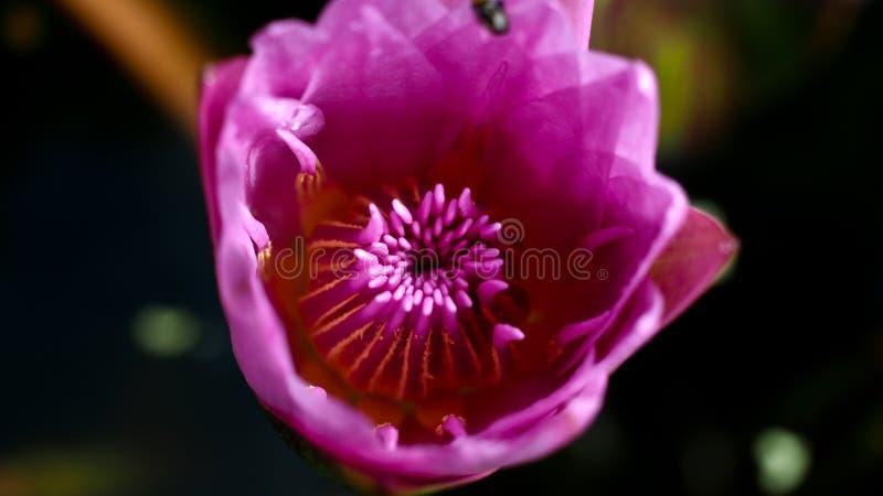Лотос цветня стоковое фото rf