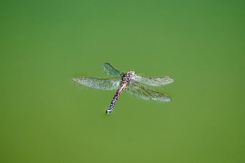 Лоточница мертвого dragonfly общая плавает в воду стоковое фото