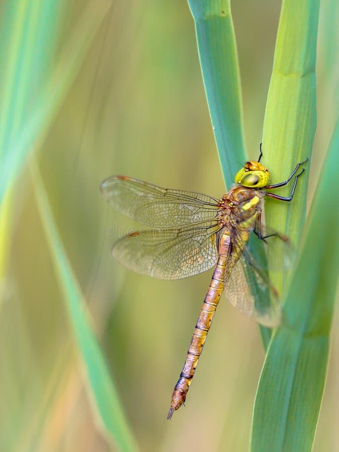 Лоточница наблюданная зеленым цветом отдыхая на тростнике стоковое фото rf