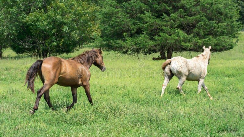 2 лошади бежать в зеленом луге стоковые фотографии rf