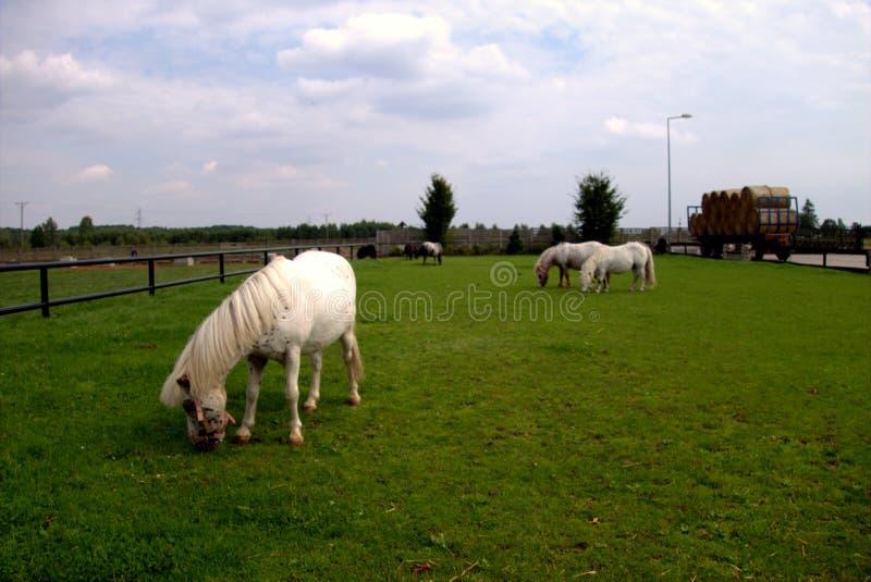 Лошади в злаковике стоковые фото