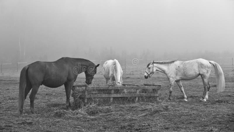 Лошади в поле, в выгоне есть сено стоковое изображение rf