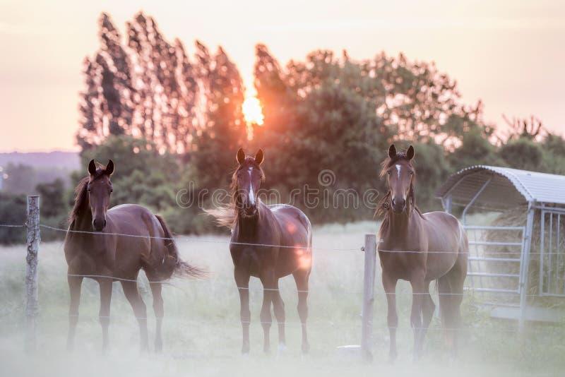 3 лошади в поле, Ле-Ман, Франции стоковые изображения rf