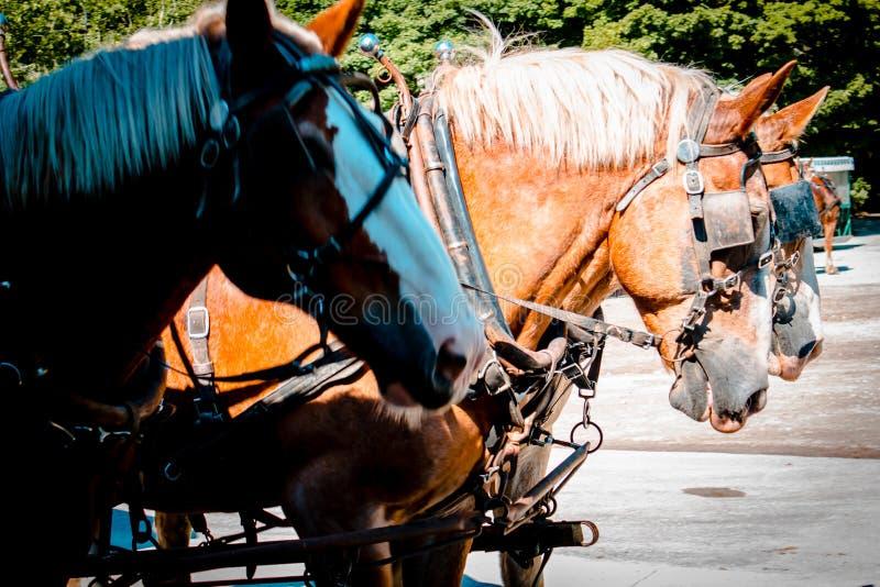3 лошади готовой для того чтобы вытянуть экипажа на острове Мичигане Mackinac стоковые изображения rf
